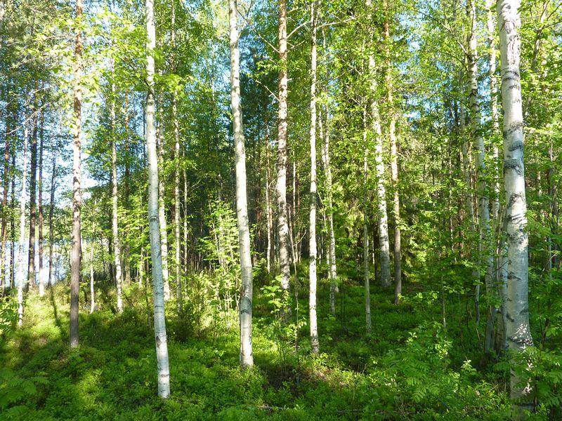 birch-forest2
