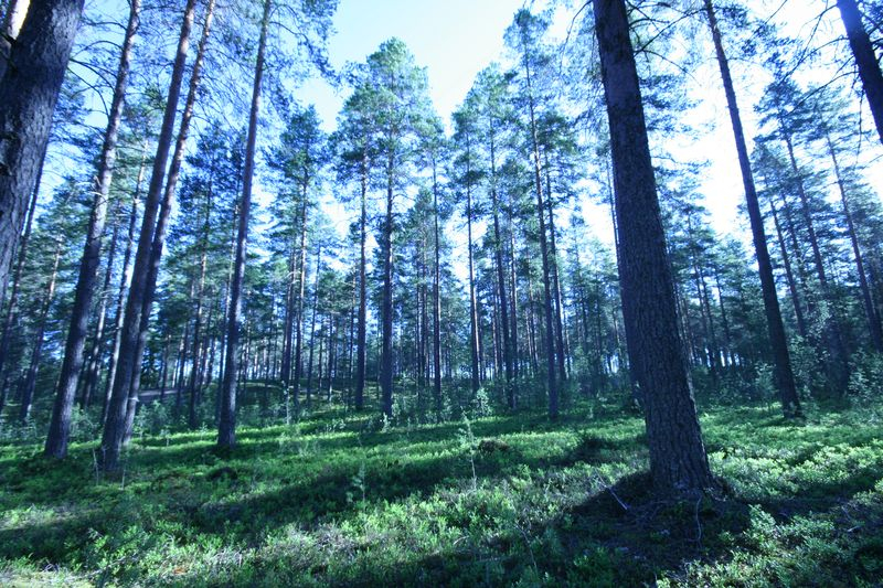pine-forest1