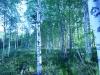 birch-forest1
