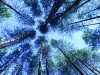 pine-forest2